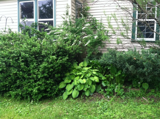 Yew, Hosta, Spirea and Smokebush