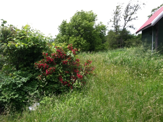 Weigela and Highbush Cranberry Mess
